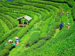 Plantations de thé, Mae Salong